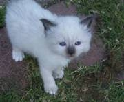 Adorable birman kittens ready to go