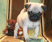 Pug puppies with 1 yr. health guarantee