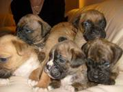 Gorgeous Boxer Puppies for Sale