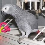 Talking congo african grey for sale