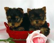 Cute and adorable Male and Female yorkie puppies for free adoption