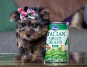 Free Adoption Teacup Yorkie Puppies In Good Health